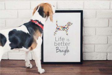 plakat, beagle, pies