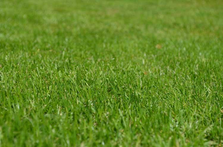 Piękny i zielony trawnik na wiosnę.