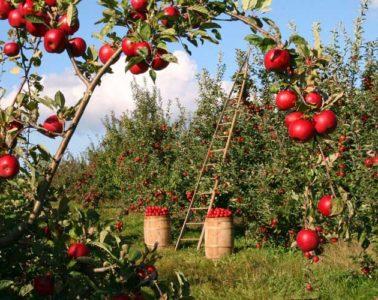 czerwone jabłka na jabłoni